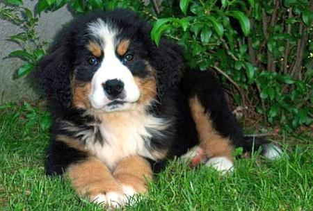 Ryder the Bernese Mountain Dog Pictures 345203