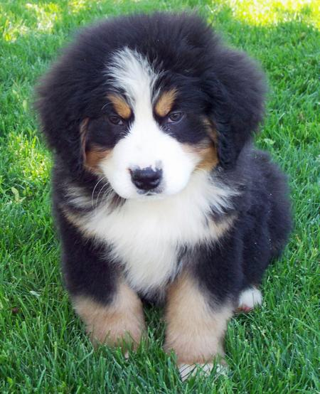 Ryder the Bernese Mountain Dog Pictures 345208