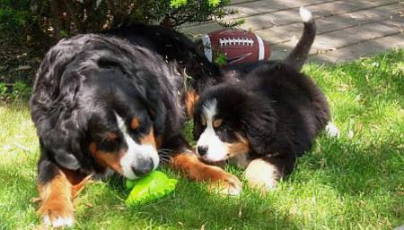 Ryder the Bernese Mountain Dog Pictures 345204