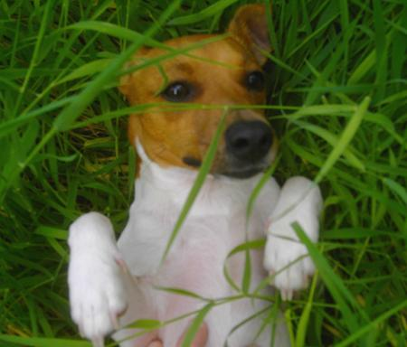 Coco the Jack Russell Pictures 22609