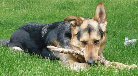 Kaya the Shepherd Mix Pictures 44612