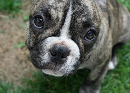 Remy the French Bulldog Pictures 351458