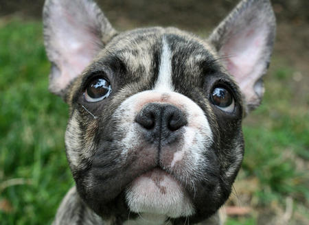 Remy the French Bulldog Pictures 351457