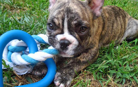 Remy the French Bulldog Pictures 351455