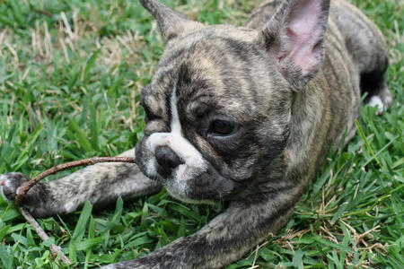 Remy the French Bulldog Pictures 351452