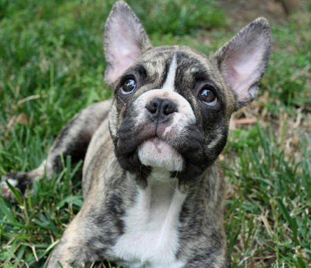 Remy the French Bulldog Pictures 351453