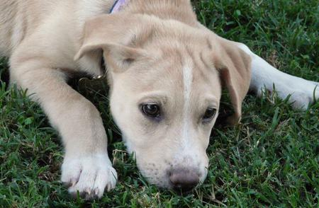 Miley the Retriever Mix Pictures 367736