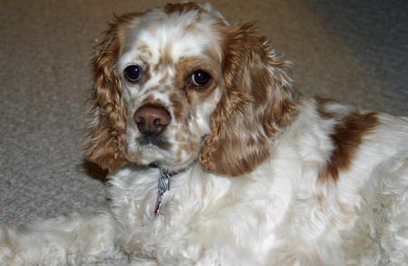 Lacey the Cocker Spaniel Pictures 370861