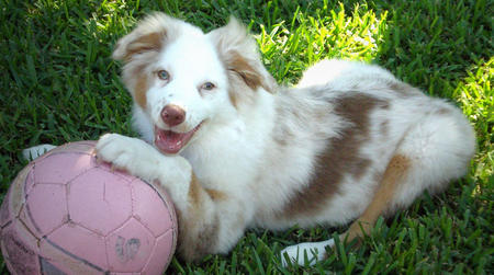 Evulett the Australian Shepherd Pictures 394197