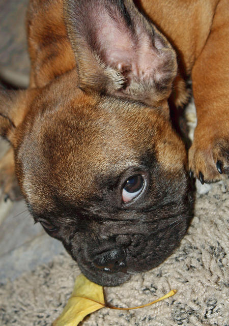 Cosmo the French Bulldog Pictures 361133