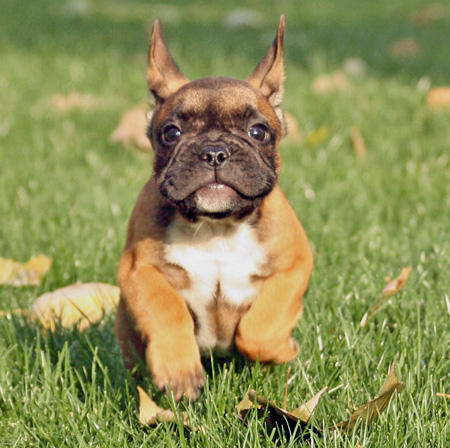 Cosmo the French Bulldog Pictures 361132