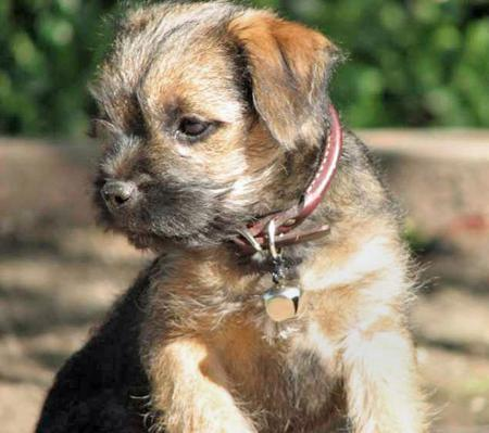 Chompsky the Border Terrier Pictures 95627
