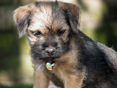 Chompsky the Border Terrier Pictures 95626