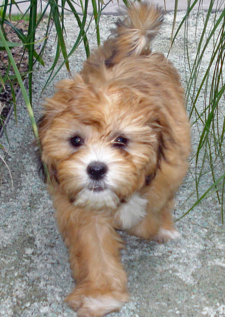 Sadie the Shih Tzu Mix Pictures 401637