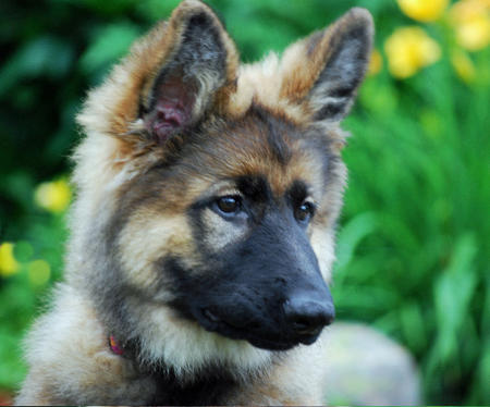 Cleopatra the German Shepherd Pictures 369684