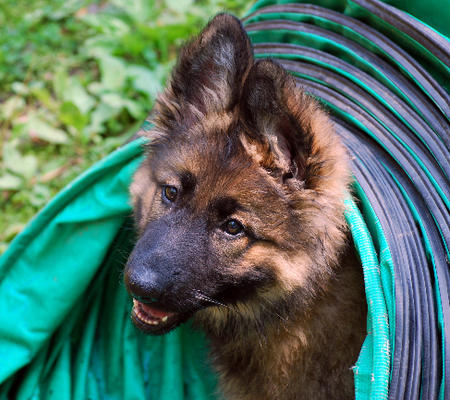 Cleopatra the German Shepherd Pictures 369682