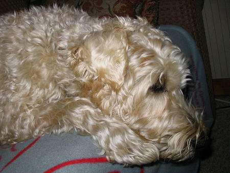 Murphy the Wheaten Terrier Pictures 369452