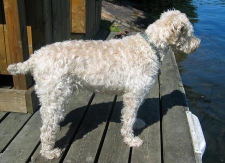 Murphy the Wheaten Terrier Pictures 369453