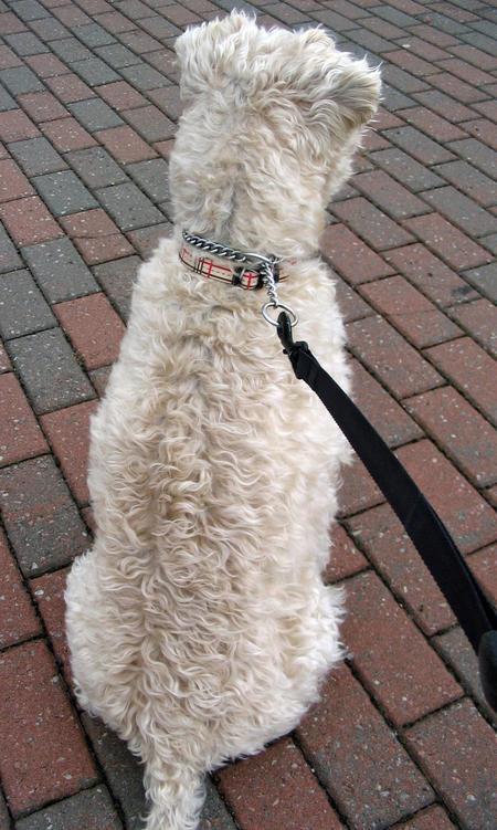 Murphy the Wheaten Terrier Pictures 369454