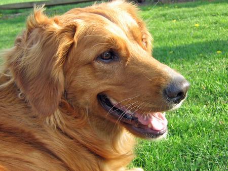 Chloe the Golden Retriever Pictures 369420