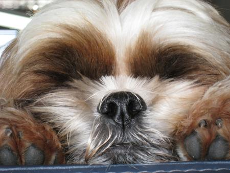 Lexie the Shih Tzu Pictures 24754