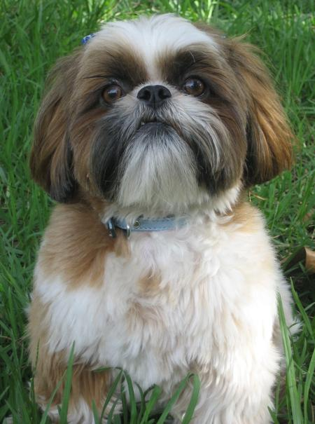 Lexie the Shih Tzu Pictures 24750