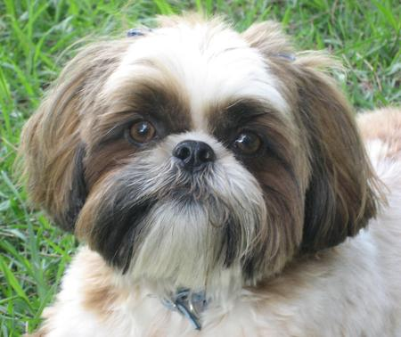 Lexie the Shih Tzu Pictures 24749