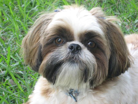 Lexie the Shih Tzu Pictures 24756