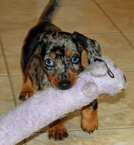 Riley the Dachshund Pictures 369261