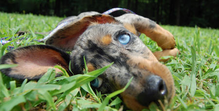 Riley the Dachshund Pictures 369263