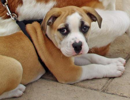 English Bulldog Mix Puppies Peanut the Bulldog Mix
