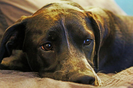 Pepper the Labrador Retriever Pictures 377146