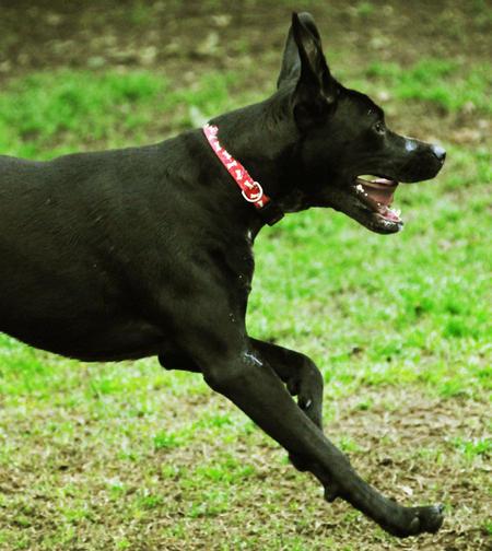 Pepper the Labrador Retriever Pictures 377144