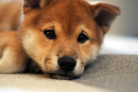 Kenji the Shiba Inu Pictures 25080