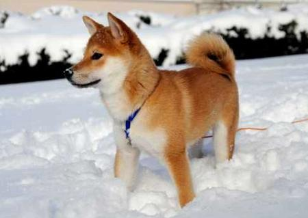 Kenji the Shiba Inu Pictures 25079