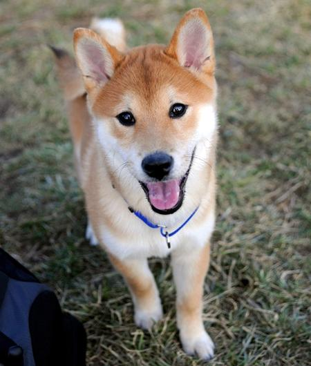 Kenji the Shiba Inu Pictures 25081