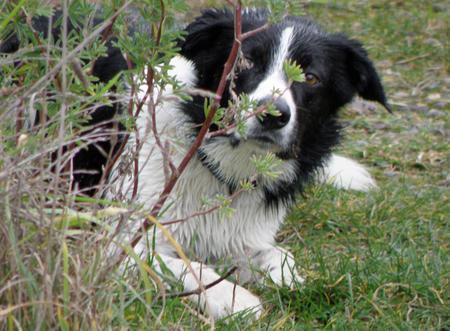 Robbie the Border Collie Mix Pictures 375514