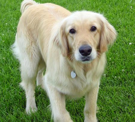 Jed the Golden Retriever Pictures 375261