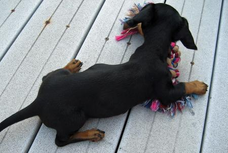 Olivia May the Dachshund Pictures 377013