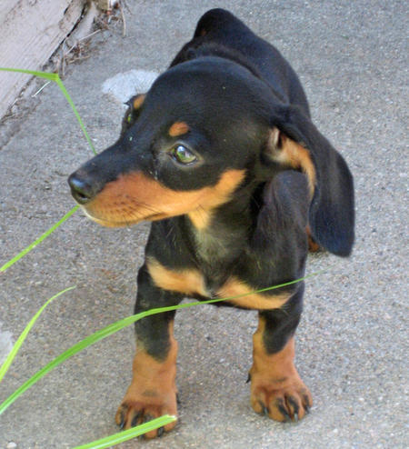 Olivia May the Dachshund Pictures 377012