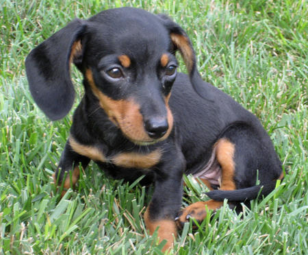 Olivia May the Dachshund Pictures 377010