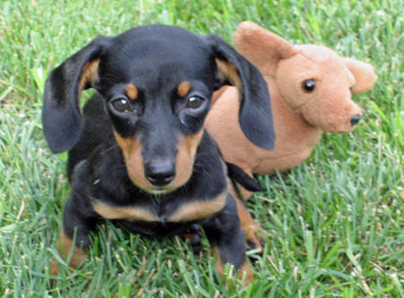 Olivia May the Dachshund Pictures 377009
