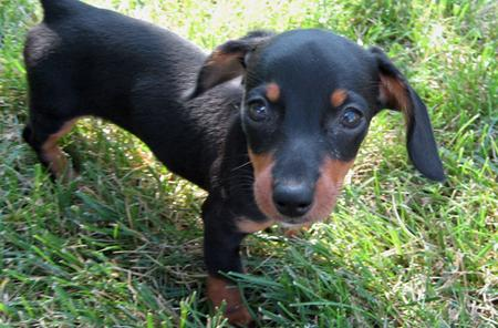 Olivia May the Dachshund Pictures 377014
