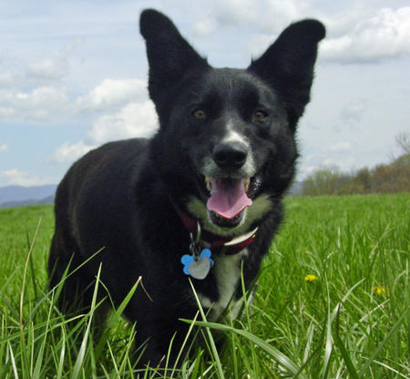 Abbi the Border Collie Mix Pictures 385105