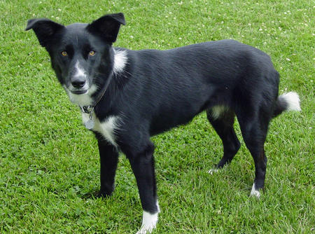 Abbi the Border Collie Mix Pictures 385103