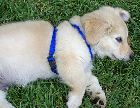 Gus the Golden Retriever Mix Pictures 375458