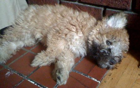 Bradley the Wheaten Terrier Mix Pictures 376003