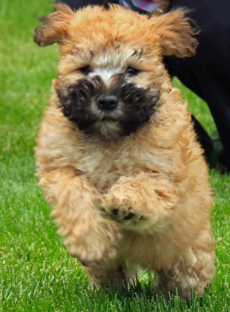 Bradley the Wheaten Terrier Mix Pictures 376007