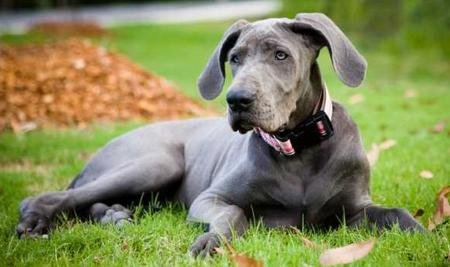 Luna the Great Dane Pictures 25281