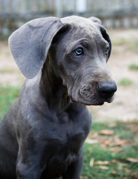 Luna the Great Dane Pictures 25289